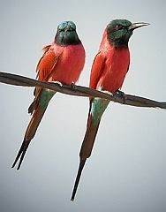 Northern Carmine Bee-eaters © John Muddeman